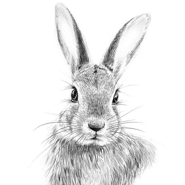 Rabbit drawing - Hase zeichnen